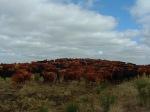 Montaña de vacas - Omar R. Galigniana